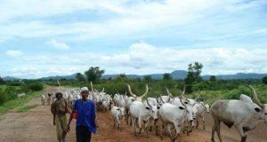 Fulani Cattle Reares