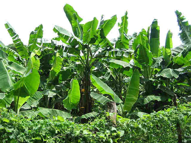 Plantain Farm In Nigeria
