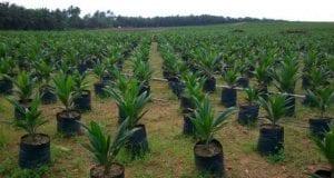 Nigeria Wilmar oil palm nursery EkongAnaku