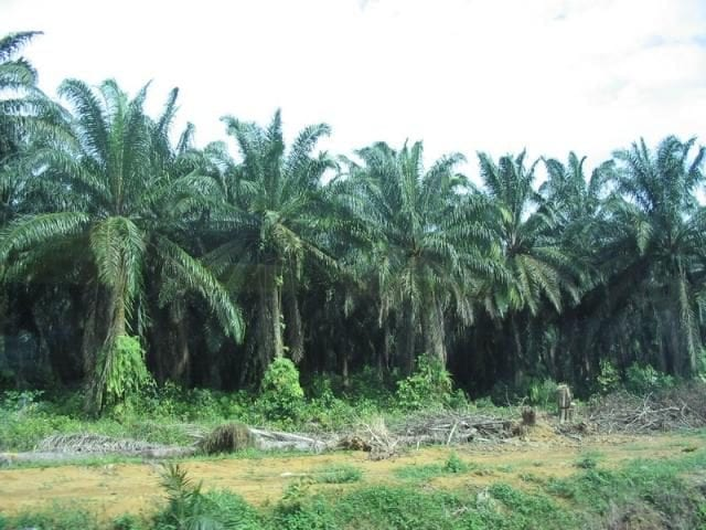 Oil Palm Plantation in Nigeria