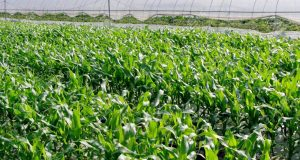 Maize Seedlings Cultivation